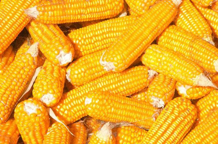 Gotujemy kukurydzę w kolbach - praktyczne wskazówki