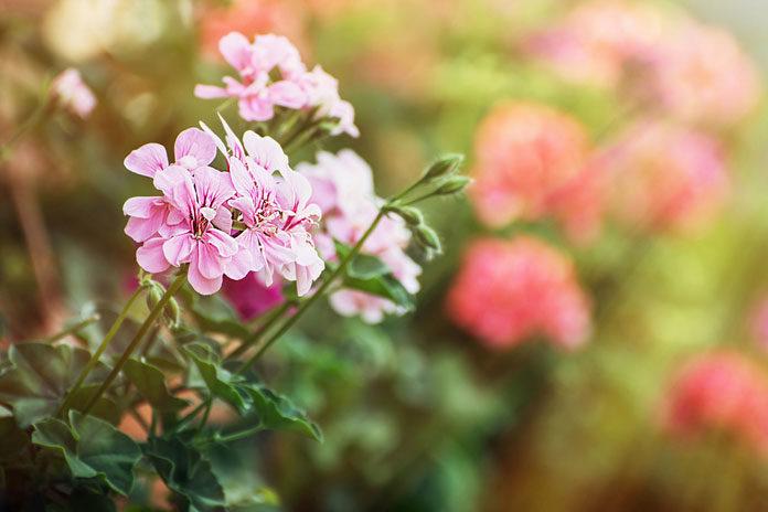 Nawożenie roślin balkonowych i doniczkowych przed sezonem